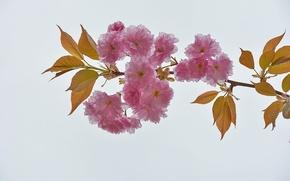 Картинка весна, цветение, spring, flowering, Ветвь