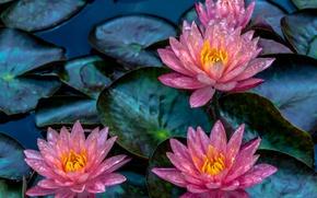 Картинка листья, лилии, нимфея, водяная лилия