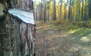 Картинка лес, Макро, берёза