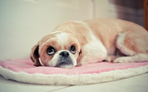 Картинка собака, взгляд, фон