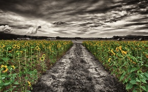 Картинка поле, подсолнухи, природа