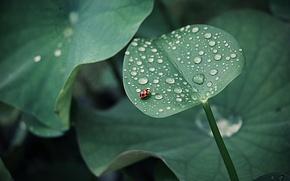 Картинка листья, капли, роса, божья коровка, насекомое, круглые