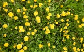 Картинка зелень, трава, одуванчики, желтые цветы