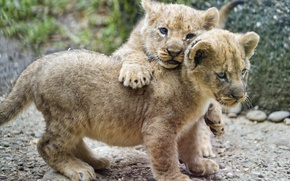 Картинка кошка, пара, детёныш, котёнок, львята, львёнок, ©Tambako The Jaguar