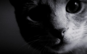 Обои кошка, чёрно-белое, фон, обои, мордочка, фото, шерсть, нос, глаза