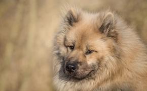 Картинка взгляд, морда, собака, Евразиер