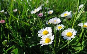 Картинка поле, лето, трава, summer, grass, field, Daisy, маргаритки, marguerite