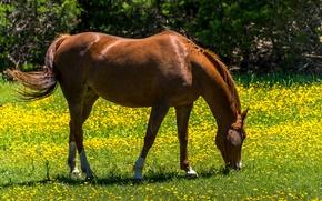 Обои цветы, пасется, на лугу, зелень, одуванчики, желтые, лето, солнце, трава, лошадь