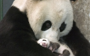 Картинка Медвежонок, Панда, Черно-белый