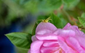 Картинка цветок, розовый, паук