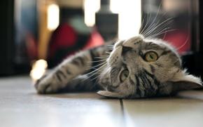 Картинка кошка, взгляд, лежит