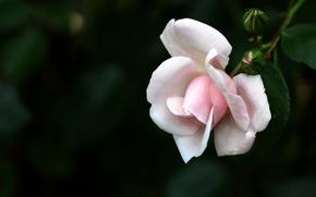 Картинка роза, Макро, Цветы, белая