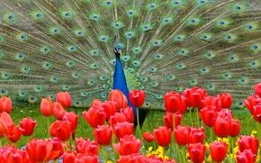 Обои цветы, хвост, павлин, тюльпаны, птица