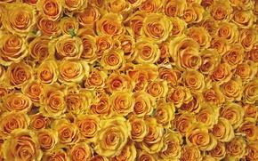 Обои цветы, розы, листья