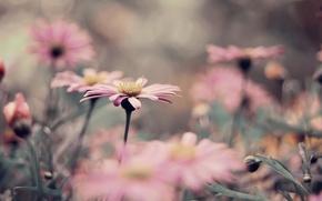 Картинка розовый, клумба, много, хризантема