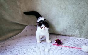 Картинка кошка, котенок, черно-белый, игрушка, глазки, маленький, перс, мордочка, палочка, материал, экстремал, блестяшка