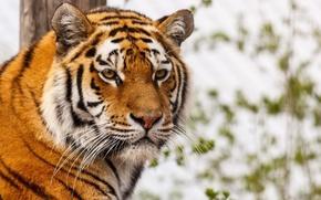 Картинка усы, взгляд, морда, тигр, хищник