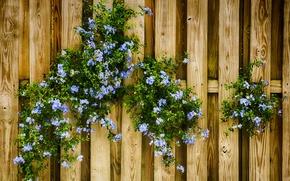 Картинка цветы, забор, голубые