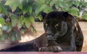 Картинка морда, отдых, листва, хищник, лапы, пантера, дикая кошка, черный ягуар