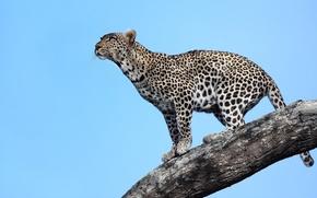 Картинка взгляд, дерево, хищник, леопард, Африка, Танзания