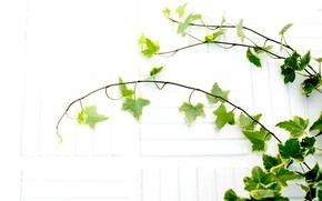 Картинка белый, листья, ветки, растение