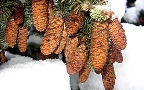 Картинка зима, елка, Ветка, шишка