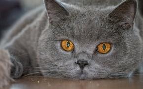 Картинка взгляд, британец, Британская короткошёрстная, морда, глаза, кот
