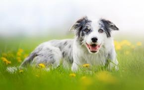 Картинка природа, поляна, портрет, собака, луг, одуванчики, обои от lolita777, аусси