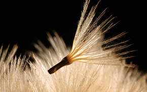 Картинка семена, Растение, пух