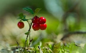 Картинка трава, ягоды, мох, боке, клюква