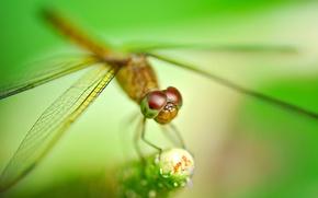 Картинка растение, стрекоза, размытость, насекомое