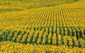 Картинка поле, цветы, подсолнух