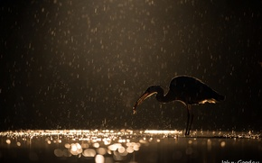 Обои ночь, блики, дождь, птица, вечер, улов, серая цапля