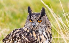 Картинка взгляд, птица, портрет, хищник, филин, орлиная сова, Bubo bubo, Eurasian Eagle Owl