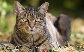 Картинка кошка, трава, кот, листья, лежит