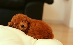 Обои собака, щенок кучерявый, спит