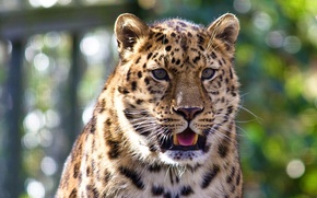 Обои леопард, взгляд, усы, морда, язык