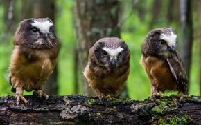 Картинка бревно, совы, трио, птенцы, Североамериканский мохноногий сыч