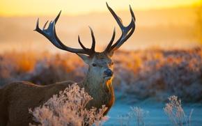 Картинка поле, закат, природа, олень, рога