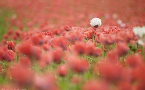 Обои цветы, лето, поле, красные, маки, белый