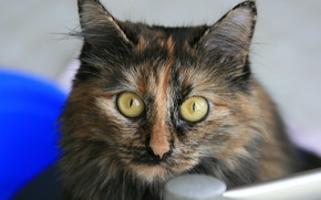 Картинка кошка, глаза, взгляд, кошки, друг, животное, обои, разноцветная