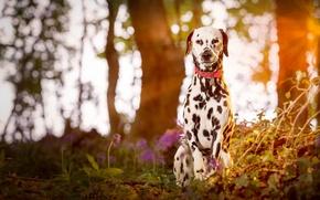 Картинка puppy, wood, dog, dalmatian