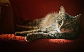 Картинка кошка, взгляд, кресло, серая, в полоску