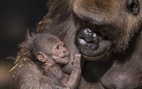 Обои природа, фон, гориллы