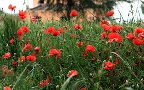 Картинка поле, трава, цветы, дом, маки