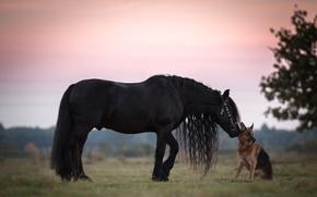 Обои собака, грива, конь, вороной, немецкая овчарка, дружба, друзья, овчарка