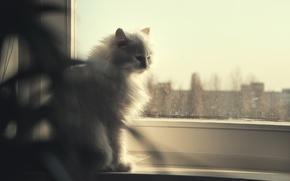 Картинка кошка, глаза, взгляд, голубой, окно