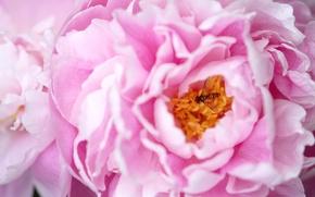 Картинка макро, розовый, насекомое, пион