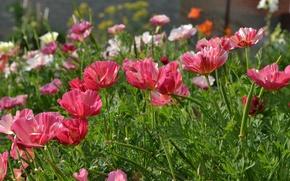 Картинка макро, цветы, красные, эшшольция
