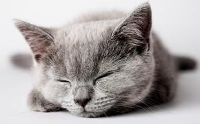 Обои кошка, серый, cat, спит, котенок, kitten, кот